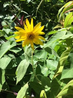 中庭に咲いたひまわり